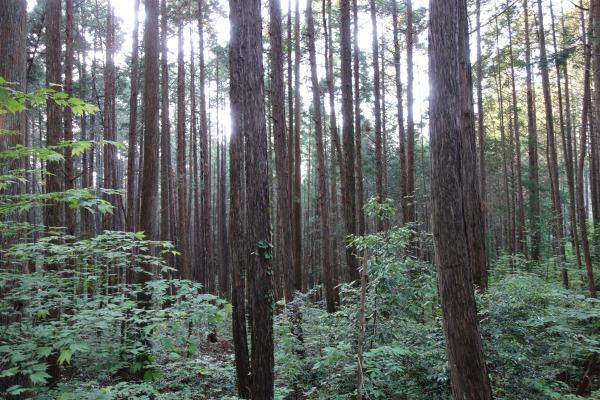 杉と檜の混合林