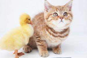 子猫とひよこ