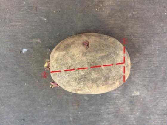 種イモの切り方