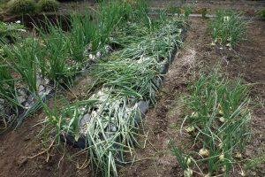 玉ねぎの収穫箇所