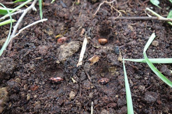花豆の種まき
