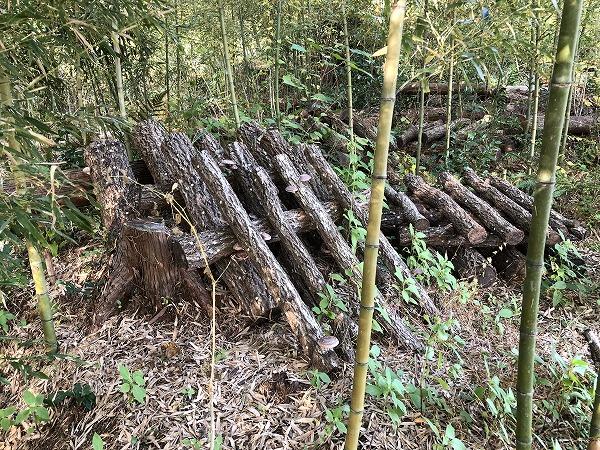 竹林の原木しいたけ