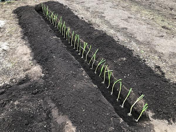 ねぎ苗の植え付け